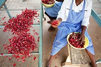 Kenya, Meru, Meru Herbs, karkade (hibiscus), processing