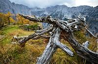 Slovenia. Julian Alp. dry tree.