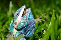 Blue crested lizard (Calotes mystaceus) in Chiang Mai, Thailand.