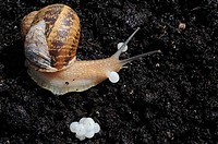 Garden snail (Helix aspersa) laying eggs. Segria, Lleida, Lerida, Catalonia, Spain.