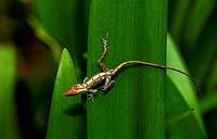 ´Anolis ( Anolis )´. Some lizards are like snakes, tarantulas, and stick insects: they climb out of their old skin, leaving it behind in one piece. . ...