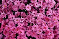 Family Asteraceae, Genus Chrysanthemum, Beaver Falls, PA, USA