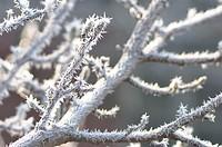 Frosty tree branch, Beaver Falls, PA, USA