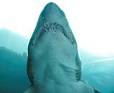 Blue shark (Prionace glauca), Pittsburgh Zoo, Pittsburgh, PA, USA