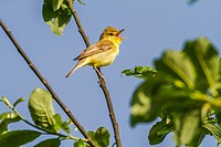 Germany, Saarland, Bexbach, A melodious warbler sings on a branch.