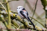 Germany, Saarland, Homburg, A long-tailed tit is sitting on a branch.
