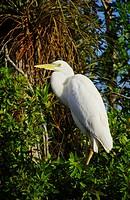 Egret in Big Cypress Swamp