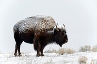 American Bison (Bison bison), standing in snow, Lamar Valley, Yellowstone National Park, Wyoming, Montana, USA.