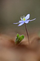 Anemone hepatica (Hepatica nobilis), Eurpean Liver Leaf, close-up on the forestfloor, Haute Savoie, France.