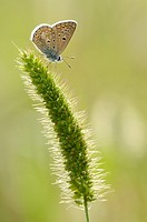 Common Blue (Polyommatus icarus) on a flower sp.