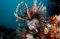 Andover Lionfish (Pterois andover), J-Nose dive site, near Balbulol Island, Raja Ampat (4 Kings) area, West Papua, Indonesia.