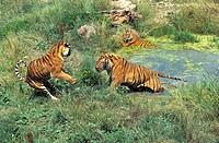 Bengal Tiger, panthera tigris tigris, Standing in Water.