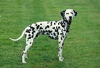 Dalmatian Dog standing on Grass.