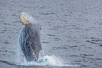 Humpback whale, Megaptera novaeangliae, breaching off Gwaii Haanas, Haida Gwaii, British Columbia, Canada.