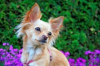 A chihuahua outdoors in a garden.