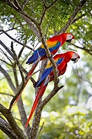 """Pair macao macaw (Ara Macao) called """"""""Lapas Rojas"""""""" in Costa Rica, in the wild in a tree near the river Tárcoles. Rio Tarcoles, Costa Rica, Central Am..."""