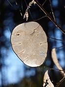 Translucence seedpods of Annual Honesty (Lunaria annua). Montseny Natural Park. Barcelona province, Catalonia, Spain.