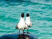 two Gull Bonaparte Chroicocephalus (Chroicocephalus philadelphia), archipiélago Los Roques Venezuela´