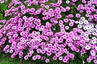 Cape marguerite (Osteospermum ecklonis or Dimorphoteca ecklonis) is a perennial herb native to South Africa but widely cultivated as an ornamental pla...