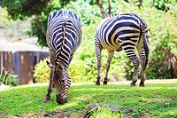 Two zebras graze on green grass at the Honolulu Zoo in Oahu Hawaii.