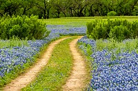 Dirt road cutting through a field of bluebonnet wildflowers at the Muleshoe recreation area in Texas in the spring.