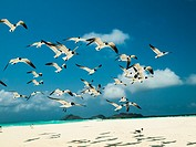 grup fly ´Bonaparte´s Gull (Chroicocephalus philadelphia), archipelago Los Roques Venezuela´