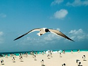 grup 1 fly ´Bonaparte´s Gull (Chroicocephalus philadelphia), archipelago Los Roques Venezuela´