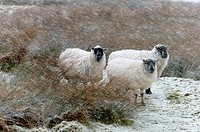 Sheep in a wintry landscape on the Mynydd Epynt moorland, Powys, Wales, UK.