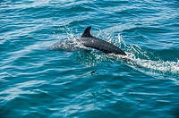 """"""""""" Dolphin"""" (Tursiops truncates),Common Dolphins use echolocation and many vocalizations to communicate with each other, and may be considered aff..."