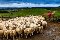 Sheep In A Sheep Pen Waiting To Be Sheared, Sheep Farm, Pukekohe, New Zealand.