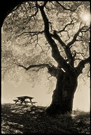 Coast Live Oak (Quercus agrifolia), picnic table, and sun, Sobrante Ridge Regional Preserve, Contra Costa County, CA, USA, shot on Kodak infrared film...