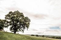 Tree in Wheat field in Summer, Borris, County Carlow, Ireland