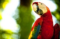´ Scarlet macaw´, (Ara macao), This species is famous for its vivid red feathers, which cover its back, head and the lower part of its tail. Corcovado...