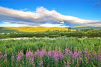Fireweed is blooming in a meadow at the shore of river Tanaelva in Finnmark in arctic Norway. In the backgroung is a farm with a Sami tent.