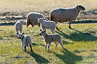 Ewes and lambs on a frosty springtime morning on the Mynydd Epynt range, Powys, Wales, UK.