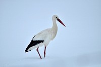 White Stork in a snow covered landscape. Leon province, Spain