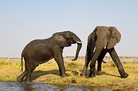 African Elephant (Loxodonta africana), in the river, Chobe National Park, Botswana.