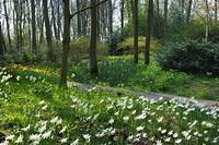 Park mit Frühjahrsblumen, (Narzissen) . Keukenhof Gardens, Lisse, Holland, Netherlands, Europe.