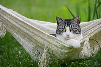 Domestic cat in hammock in Spring.
