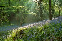 Shafts of light in a bluebell woodland near Horsham, West Sussex, England.