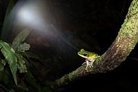 White-lipped Frog Hydarana raniceps. Image taken at Kubah National Park, Sarawak, Malaysia.