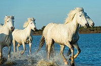 Camargue horses are running through the water of a marsh in the Camargue in southern France.