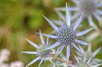 Eryngium campestre, thistle, cardo corredor, Apiales, Apiaceae, Reinosa, Cantabria, Spain,.