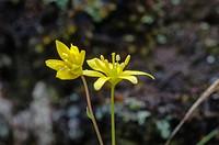 Gagea sp, yellow flowers, Liliaceae, Aldeanueva de la Sierra, Salamanca, Castilla y Leon, Spain.