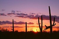 USA, Arizona, Saguaro National Park, Saguaro cacti are silhouetted at sunset in the Tucson Mountains.