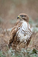Eurasian Buzzard (Buteo buteo) perched on ground. Ivars lake. Lleida province. Catalonia. Spain.
