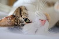 Domestic cat's headshot, France.