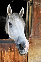 Camargue horse looking out of its stable door, Camargue, France, Europe.