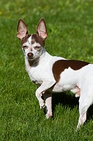 A male chihuahua outdoors, squinting in the sun.