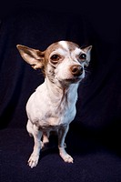 An adult male Chihuahua indoors.